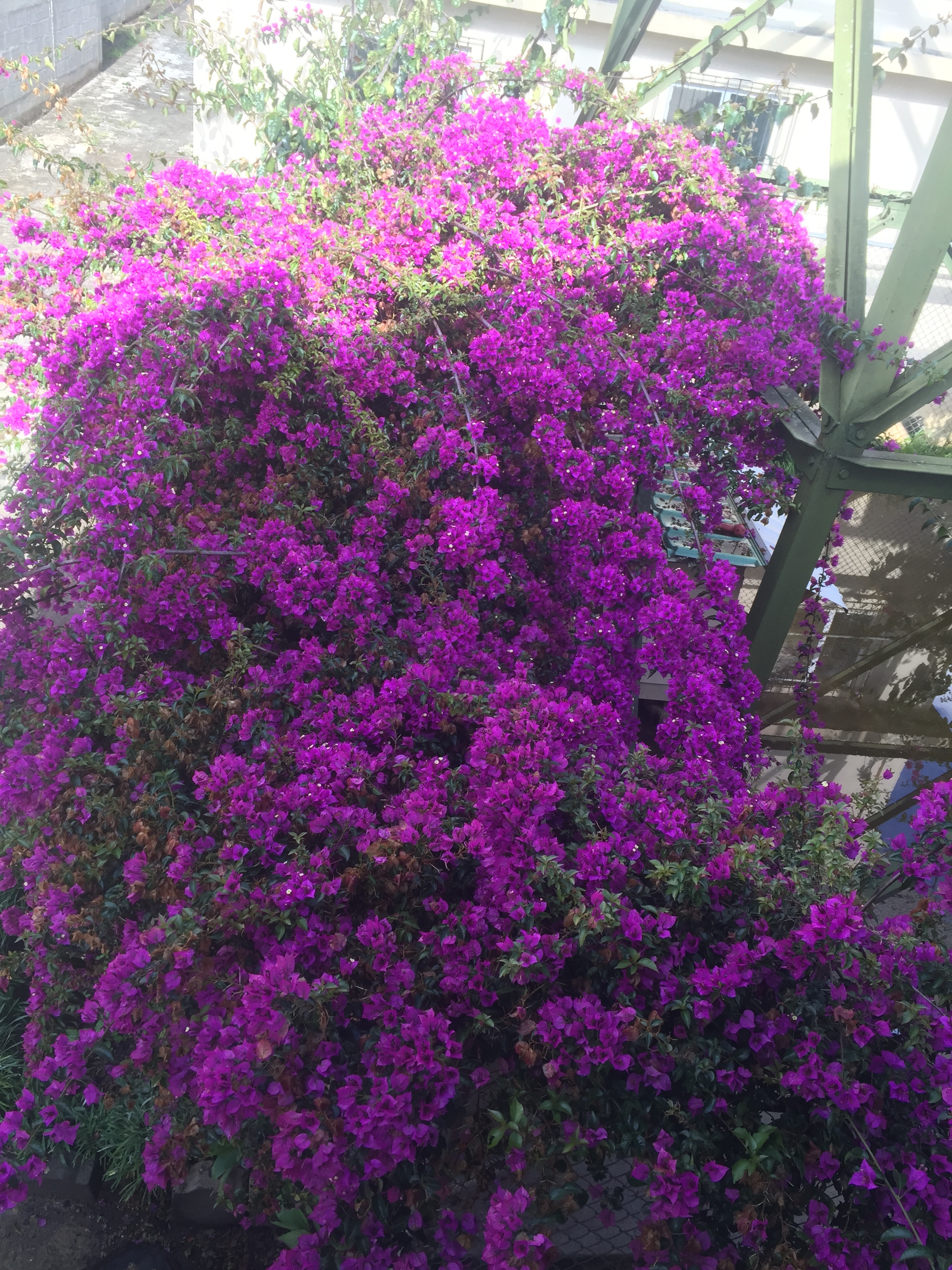 bougainvilleas: photo from 2nd floor of my house